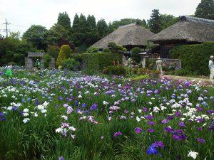 6月10日(日)は「白井田園」の花しょうぶ祭り